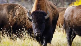 American Bison Walked In The Savanna