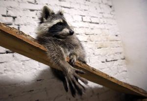 """A racoon that lives in the """"Racoon cafe"""" relaxes on a wooden plank with bark imitating its natural habitat, Kharkiv, northeastern Ukraine, August 9, 2019. Ukrinform. /VVB/"""