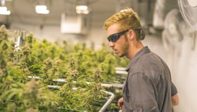 Cannabis plants grow under artificial lights