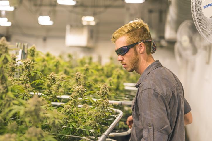 Cannabis plants grow under artificial lights