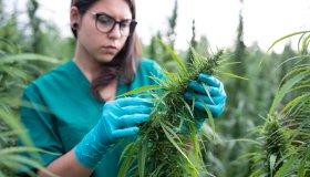 Young woman examining cannabis plants.